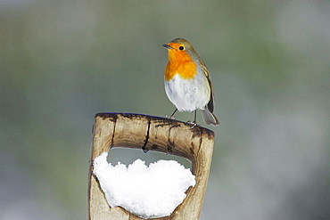 Robin (Erithacus rubecula) adult perched on spade handle in snow, Scotland, March 2006.