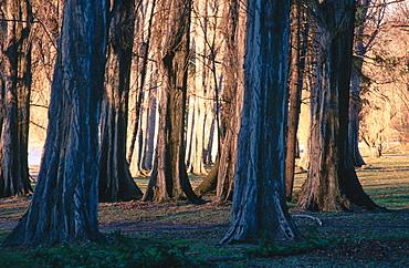 Poplar trees (Populus sp.), South Island, New Zealand