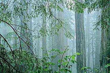 Coast redwood forest (Sequoia sempervirens) in fog, Prairie Creek Redwoods State Park, Humboldt County, California, USA.