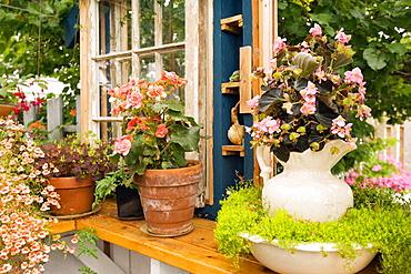 Pink Begonia in antique pitcher w/ Scotch Moss in bowl on greenhouse windowsill w/ orange Begonia, Diascia (Begonia cvs.; Sagina subulata; Diascia cv.), Kane, Ferndale, WA.
