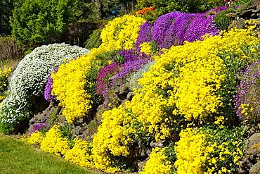 Basket of Gold, Evergreen Candytuft, Purple Aubrieta cascade over sunny rock wall (Aurinia saxatilis; Iberis sempervirens; Aubrieta deltoides), Spokane, Manito Park, WA.