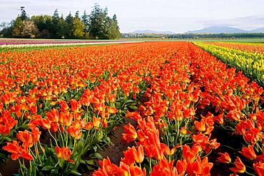 'Orange Emperor' Tulips in farm field (Tulipa 'Orange Emperor'), Tulip Town, Mt, Vernon, WA.