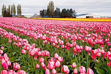 'Pink Impression' Tulips in farm field (Tulipa 'Pink Impression'), Tulip Town, Mt, Vernon, WA.