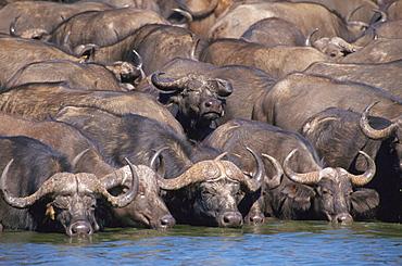 Cape Buffalos (Syncerus caffer), Hwange National Park, Zimbabwe