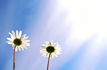 Flowering Ox-Eye Daisies (Leucanthemum vulgare) against the blue sky, Lund, Vasterbotten, Sweden