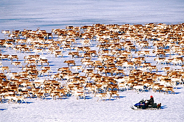 Reindeer (Rangifer tarandus) herd on an icy river, Batfors, Vasterbotten, Sweden