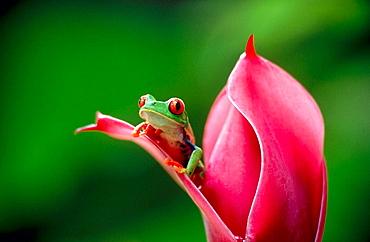 Red-eyed tree frog (Agalychnis callidryas) on a torch ginger, Selva Verde, Costa Rica