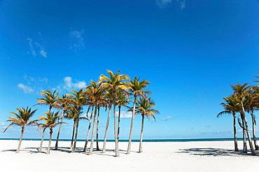 Palm trees, Miami, Florida, USA