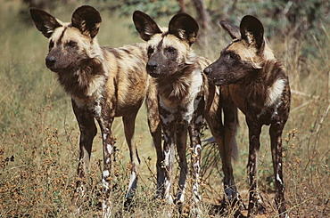 African Hunting Dogs (Lycaon pictus)