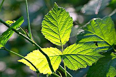 Raspberry leaf (Rubus idaeus)