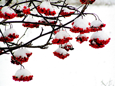 Rowan (Sorbus aucuparia) after snowfall, Matsalu Nature Reserve, Estonia
