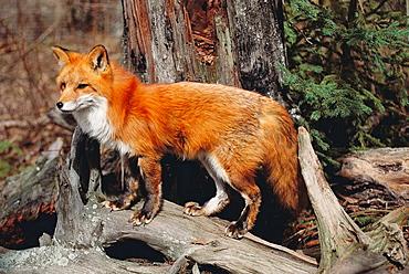 Red Fox (Vulpes fulva), Montana, USA.