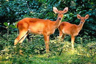 Sangai deer (Cervus eldi eldi)