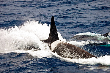 Orca male surfacing north of Macquarie Island, Southern Ocean