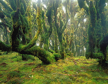 Cloud forest near the summit of Manuoha Te Urewera National Park New Zealand