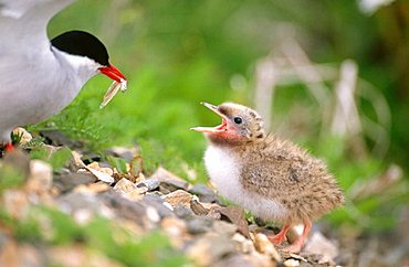 Artic Tern (Sterna paradisaea) feeding its young