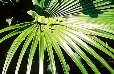 Fiji banded iguana (Brachylophus fasciatus), Endangered species, Fiji Island, South Pacific