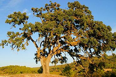 Oak (Quercus ilex), Sierra Mariola, Alicante province, Spain