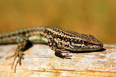 Bocage's Wall Lizard (Podarcis bocagel), Cuenca province, Castilla-La Mancha, Spain