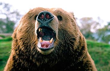 Brown bear (Ursus arctos) growling