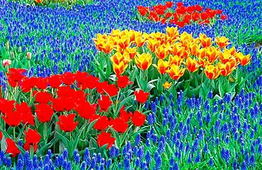 Tulips and Hyacinths, Keukenhof Gardens, Holland