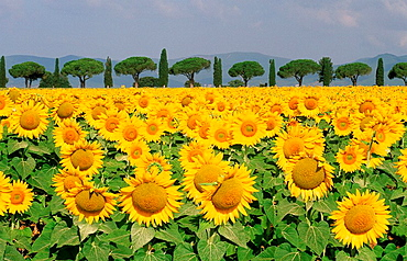 Sunflower field in front of Pines and Cypresses alley, Maremma, Tuscany, Italy