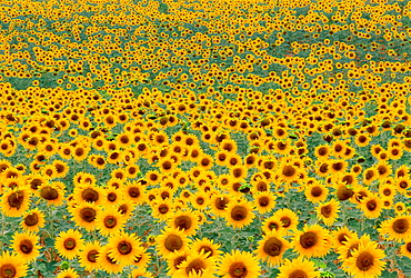Field with sunflower, Provence, france