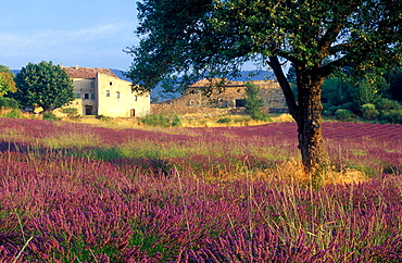 Tree in Lavender field in front of Country house, Plateau de Vaucluse, Sault, Provence, France