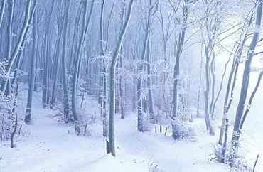 Frosted Beech forest, Biosphere Reserve East Rugen, Rugen Island, Mecklenburg-Western Pommerania, Germany