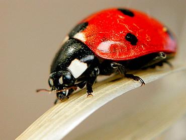 Ladybird (Coccinella septempunctata)
