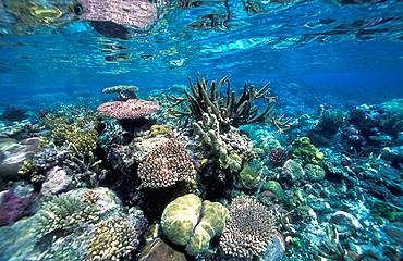Horizontal image of shallow coral reef (Acropora sp, Favia stelligera, Porites nigrescens) thriving of Njari Island - Northern Ghizo, Solomon Islands, (Pacific)