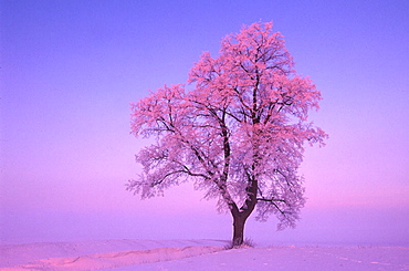 Frosted Linden tree, Bavaria, Germany