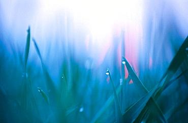 Dew drops on grass, april