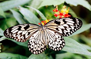 White Tree Nymph butterfly (Idea leuconoe), Southeast Asia - 817-120725