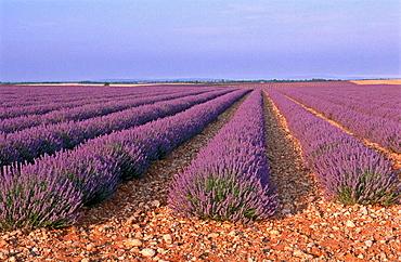 Lavender field, Plateau de Valensole near Puimoisson, Alpes-de-Haute-Provence, France