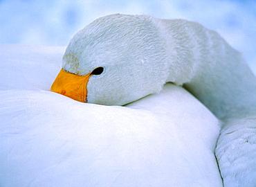 Whooper Swan (Cygnus cygnus), trying to sleep, Japan - 817-12089