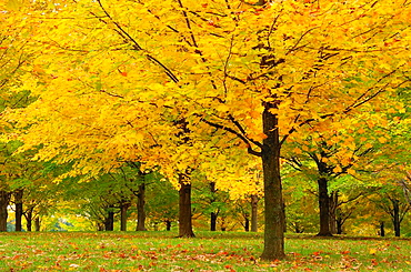 Maple Tree Acer sp with fall foliage Vermont, USA, America