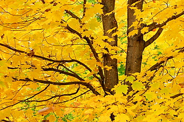 Close up of Maple Tree Acer sp with fall foliage Vermont, USA, America