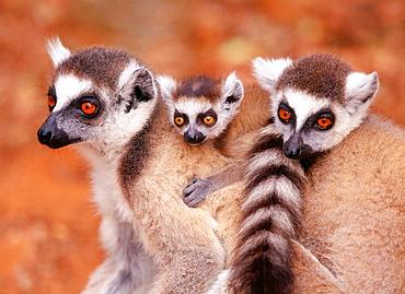 Ring-tailed Lemurs (Lemur catta), Berenty reserve, Madagascar