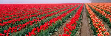 Tulip fields (Tulipa gesneriana), Skagit Valley, Skagit County, Washington, USA