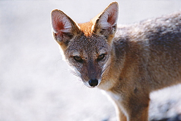 Argentine Gray Fox (Dusicyon griseus), Valdes Peninsula, Argentina