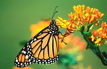 Monarch Butterfly (Danaus plexippus)on orange butterflyweed