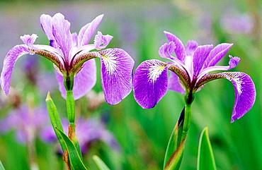 Blue Flag (Iris versicolor): wetland plant blooming in marsh-Newfoundland, Gros Morne National Park, Newfoundland and Labrador, Canada