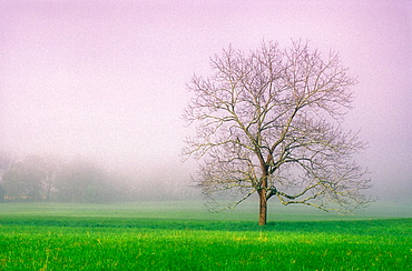 Solitary maple and fog in pasture at Cades Cove, Great Smoky Mountains NP, Tennessee, USA