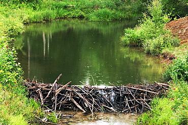 Typical Beaver dam on Chikanishing Creek, Killarney Provincial Park, Ontario, Canada