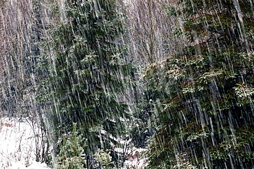 Spruce trees and falling snow, Lively, Ontario, Canada