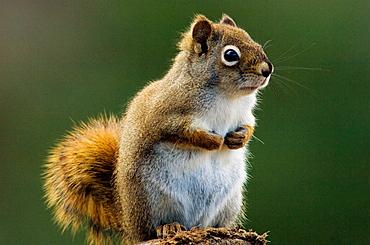 Red squirrel, (Tamiasciurus hudsonicus), Alert individual posed on woodpile