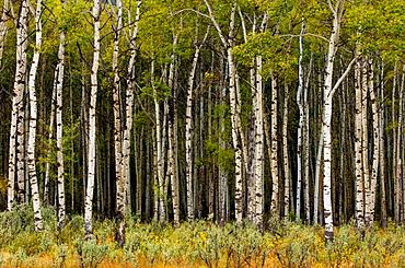 Aspen grove in early autumn, Jasper National Park, Alberta
