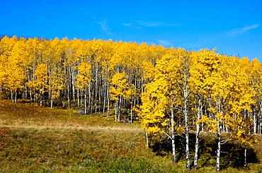 Aspen trees in autumn colour on hillside of foothills rangeland, Southern Alberta
