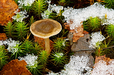 Grayling mushrooms (Cantharellula umbonata) with haircap mosses and dusting of fresh snow
